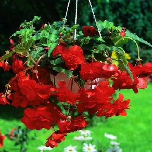 2 Giant Pendula Red Begonia Bulbs 7+ cm Ship Mar. 2017 Great in Hanging basket! - Bulb Basket