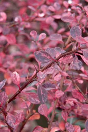 Rose Glow Barberry Japanese