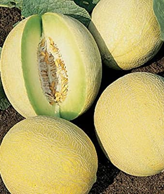30 Seeds Honeydew Melon Dulce Sweet Exotic Fruit Seed
