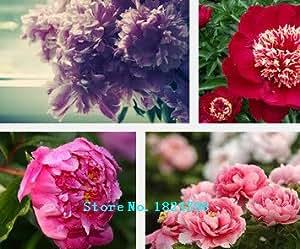 5 Semillas / paquete, Blanco herbácea de flores del Peony Semillas '' Señora después de semillas bonsai casa ducha de jardín