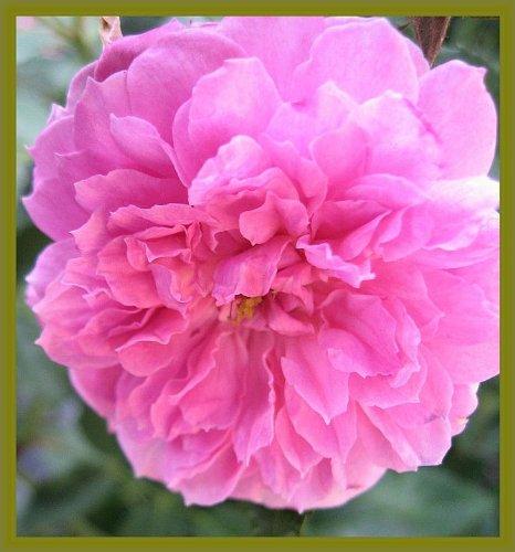 Wedding Heirloom Rose (Old Heirloom Antique Own Root Rose Caldwell Pink, Pink Pet, Summer Carnation)