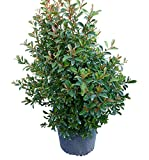 PlantVine Eugenia myrtifolia, Syzygium paniculatum, Brush Cherry - Large - 8-10 Inch Pot (3 Gallon), Live Plant - 4 Pack