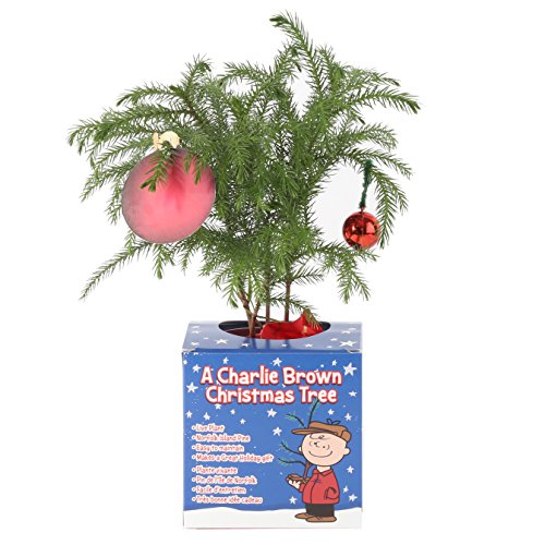 (Costa Farms Live Charlie Brown Christmas Tree, 10 to 12-Inches Tall, Ships Fresh From Our Farm, Great as Holiday Gift or Christmas Decoration)
