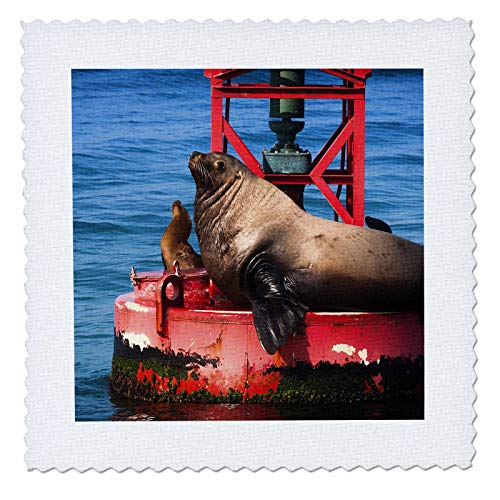3dRose Danita Delimont - Sea Lions - Steller sea lion on harbor buoy, Ventura, California, USA - 8x8 inch quilt square (qs_314703_3)