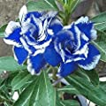 Afco 5pcs Blue With White Side Desert Rose Flower Seeds Home Garden Plant Bonsai Decoration Blue White