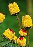 Tropica - Hierbas - Acmella oleracea - 200 Semillas