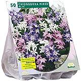 Chionodoxa gemischt 50 Stück Sternhyazinthen Blumenzwiebel