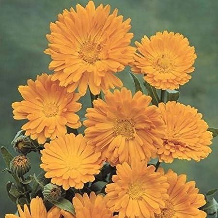 Graines de SOUCIS  fleur annuelle