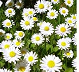 shade perennials zone 7 100+ True German Chamomile Seeds / Herb / Flower Seeds / Perennial