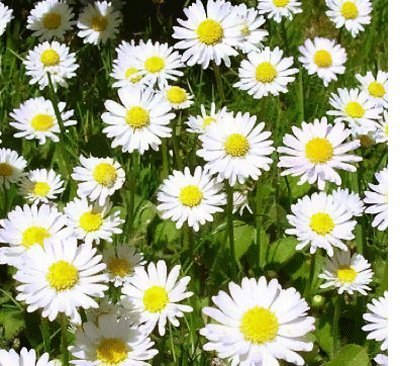 100+ True German Chamomile Seeds / Herb / Flower Seeds / Perennial