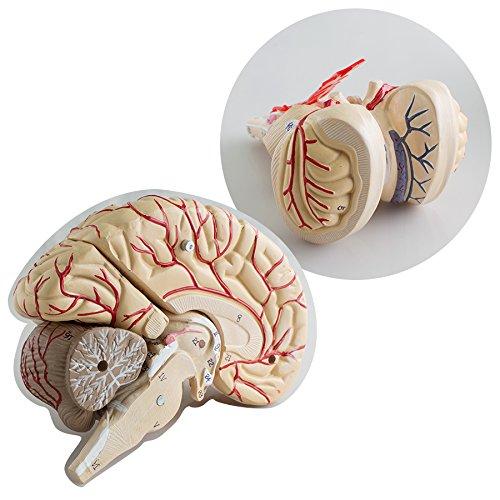 Zinnor Brain Anatomy Model Brain Model Arteries Medical Anatomical Brain Model, with Arteries, 9 Parts, PVC Material