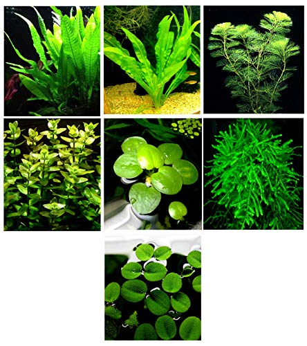 (20 Live Aquarium Plants / 7 Different Kinds - Amazon Swords (2 kinds), Egeria, Cryptocoryne and much more! Great plant sampler for 5-6 gal. mini- tanks!)