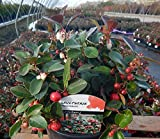 Green Promise Farms Gaultheria procumbens