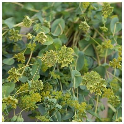 David's Garden Seeds Flower Bupleurum Green Gold SL4993 (Green) 100 Non-GMO, Open Pollinated Seeds : Garden & Outdoor