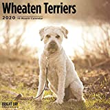 Terriers Collection by Bright Day Calendars 16 Month Wall Calendar 12 x 12 Inches (Wheaten Terriers 2020)