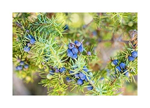 RP Seeds Juniperus communis (Common Juniper) - 30 seeds