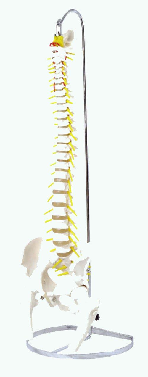 可動型脊柱模型 大腿骨付きモデル IK41 B008CMYMYS 可動型脊柱模型 B008CMYMYS, おしぼり屋:02cc8626 --- jpsauveniere.be