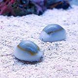 (海水魚 貝 無脊椎)ハナビラタカラガイ(3匹)