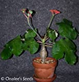 Buddha Belly Bush (Jatropha Podagrica) Seeds, Unusual, Container or Butterfly Garden, Red Flowers (5+ Seeds)