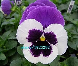 gran venta 100 semillas de flores del pensamiento humano cara del gato de la cara de la mariposa flor fragancia Polonia e Islandia emitieron flor nacional sh libre