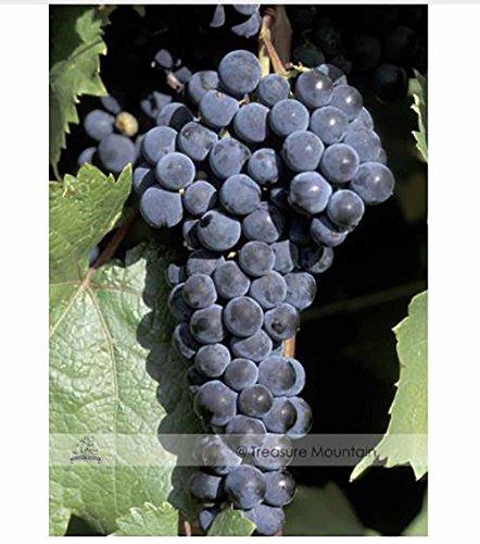 grape seedlings - 3