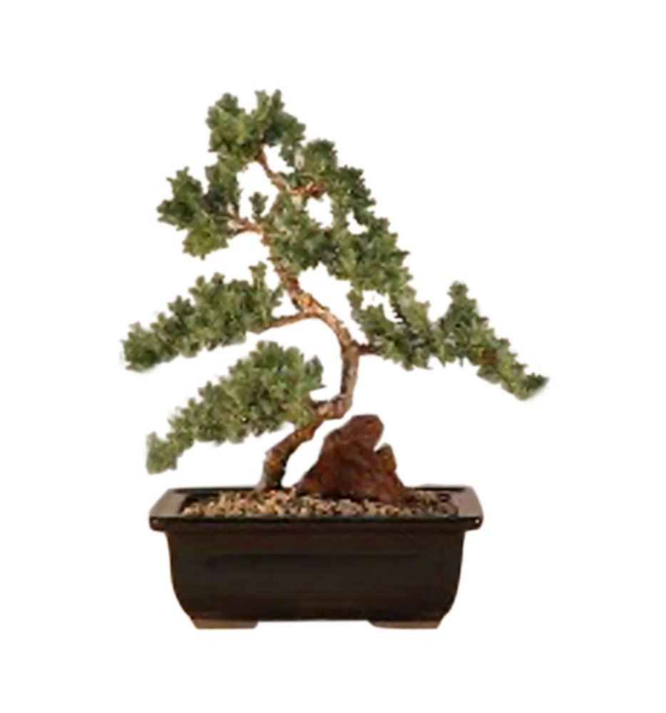 Amazoncom Bonsaiboy Juniper Karate Kid Bonsai Tree Medium