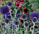 Heirloom 35 Seeds Echinops Globe Thistle Ritro Violet Purple Blue Garden Flower S054