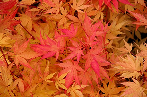 Coral Bark Japanese Maple Acer palmatum 'Sango Kaku' 3 - Year Live Plant Brilliant Red Bark is Bright Red, Year Round Beauty With a Spectacular Range of Leaf Colors by Japanese Maples and Evergreens (Image #4)