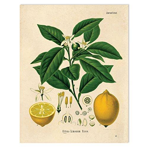 Amazon 16 X 20 Vintage Botanical Lemon Tree And Fruit Diagram