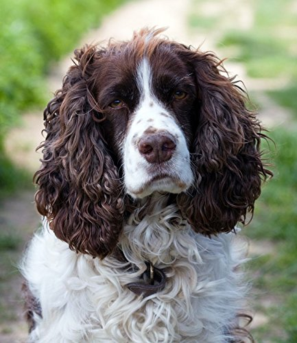 Home Comforts Laminated Poster Dog Spaniel English Springer Spaniel Springer Poster Print 24 x 36