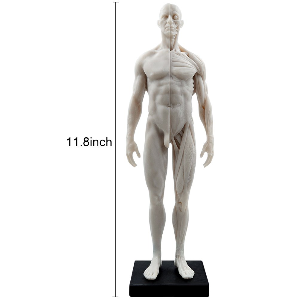 HUBERY MODEL 11 Inch Male Human Anatomy Model of Art Anatomy Figure(White)