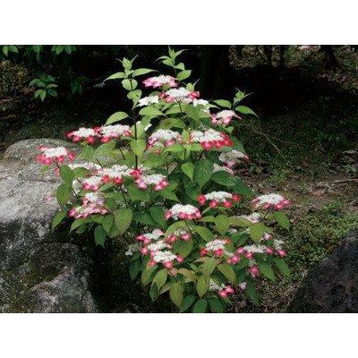 アジサイ(紫陽花)クレナイ ヤマアジサイ 紅色花 植木 苗木 B00SR49Y6C