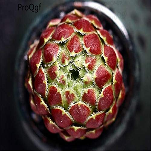3pcs a Set Sempervivum Plant Crassula obliqua - (Color: 3 Sempervivum) by Kasuki (Image #2)