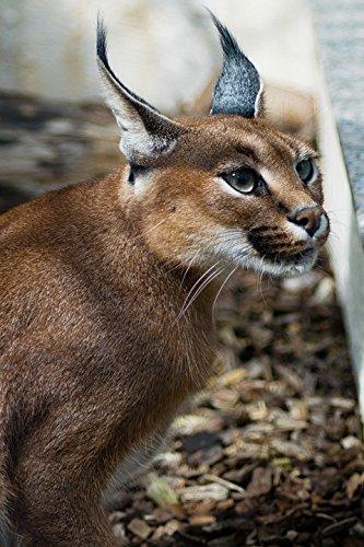 Amazon Com Home Comforts Cat Karakal Kalaharia Caracal Caracal