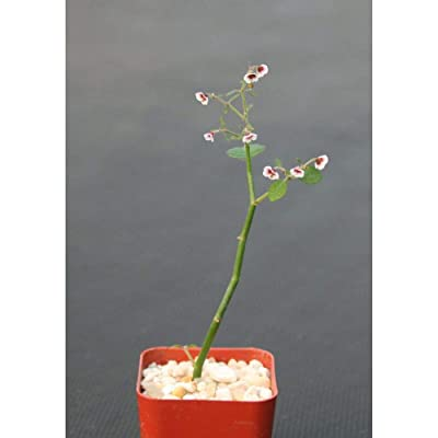 """Euphorbia Guiengola Exotic Rare Succulent Caudex Bonsai Hanging 2"""" Pot Plant #EXC01 : Garden & Outdoor"""