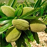 Fresh Sweet Almond Tree Prunus dulcis VAR. dulcis 5 Seeds BonsaiNut Tree