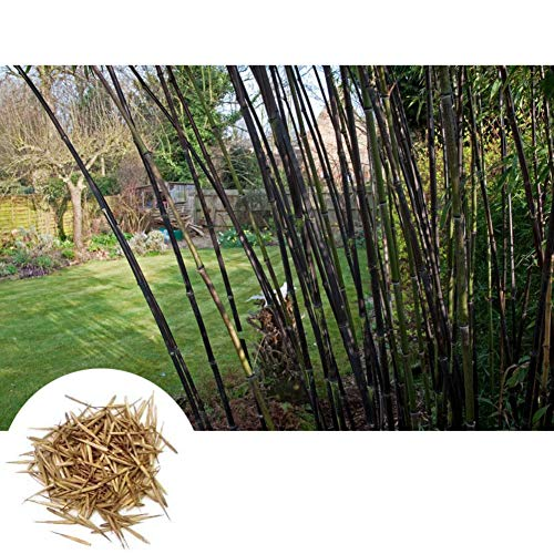 - 100 Pcs Purple Bamboo Seeds, High Germination Rate Easy to Grow Seeds for Home Garden Courtyard Yard Decoration Decor