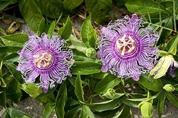 Amazon Com 9greenbox Maypop Purple Passion Flower 4 Pot