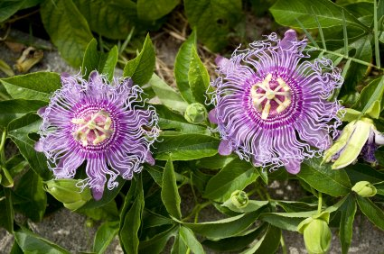 - 9GreenBox - Maypop Purple Passion Flower - 4'' Pot
