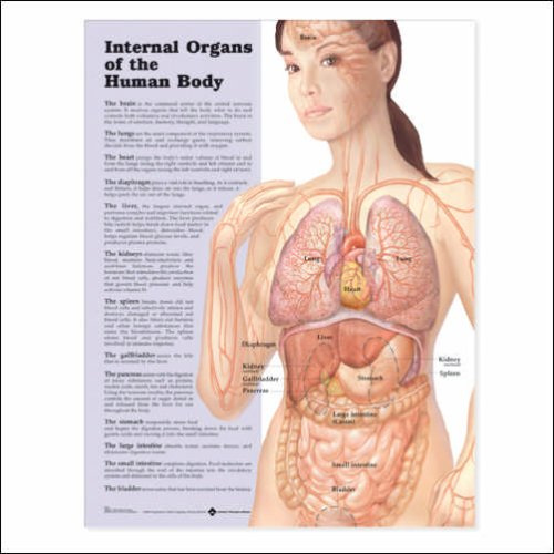 Internal Organs of the Human Body Anatomical Chart 20