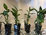3 Large Diffferent Dendrobiums Live Orchids Plants