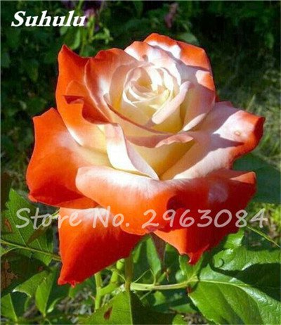 Amazon Big Promotion 24 Colors Plants Potted Rose Seeds
