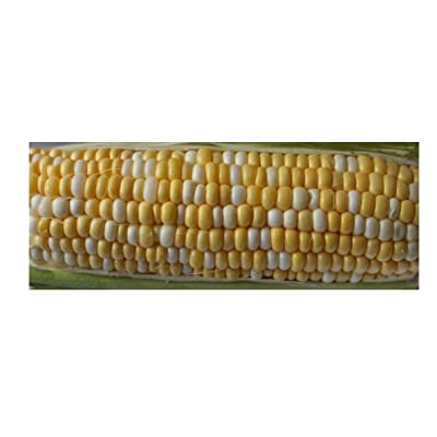 Vintage 100 Seeds -Serendipity Sweet Corn- Super Sweet! Bi Color Tripple Sweet and Juicy Flavor Customers Favorite 82 Days : Garden & Outdoor