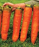 buy Seeds Carrots Krasnyy Velikan - Red Giant Organically Grown Russian Heirloom now, new 2018-2017 bestseller, review and Photo, best price $2.91