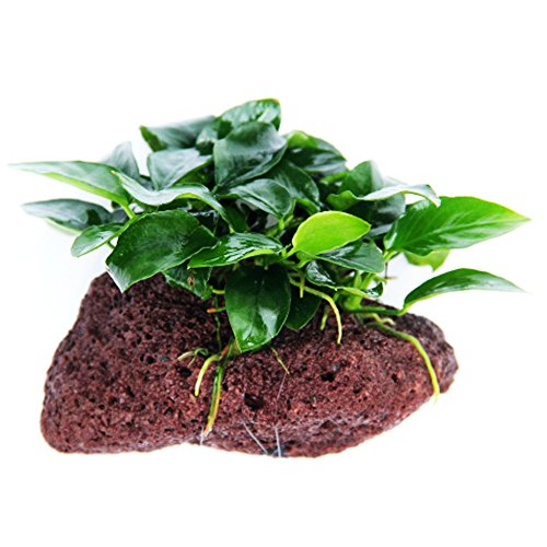 (Greenpro (Anubias Nana Petite Lava Stone) Anubias, Java Fern, Moss and More! Freshwater Live Aquarium Plants on Driftwood for Aquatic Tropical Fish Tank Decorations - Easy to Drop)