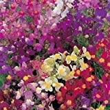 2,500 Seeds Toad Flax Linaria Maroccana FLOWER SEEDS