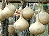 buy Jicama Seeds - Mexican Potato - Sweet Turnip now, new 2018-2017 bestseller, review and Photo, best price $7.99