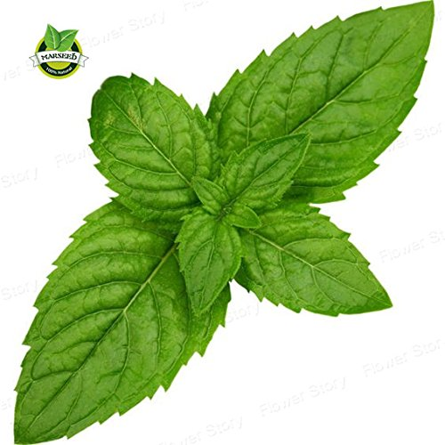 Apple Mint Herb (100 seeds apple mint organic herb medicinal aroma Chinese herb seeds for home garden planting)
