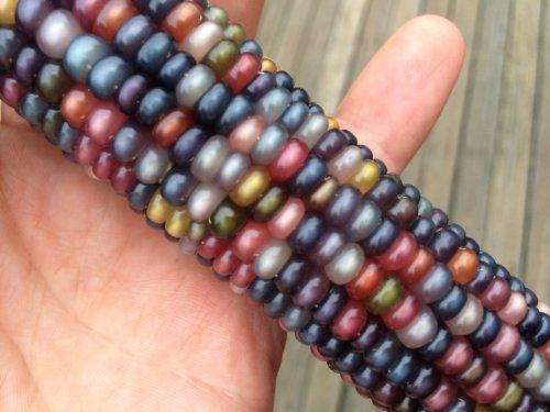(Glass Gem Cherokee Indian Corn Heirloom Premium Seed Packet +)