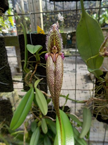 Bulbophyllum fascinator 'philippinense' Rare Large flower type! Orchid plant
